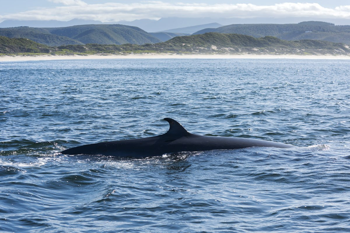 whale watching plett