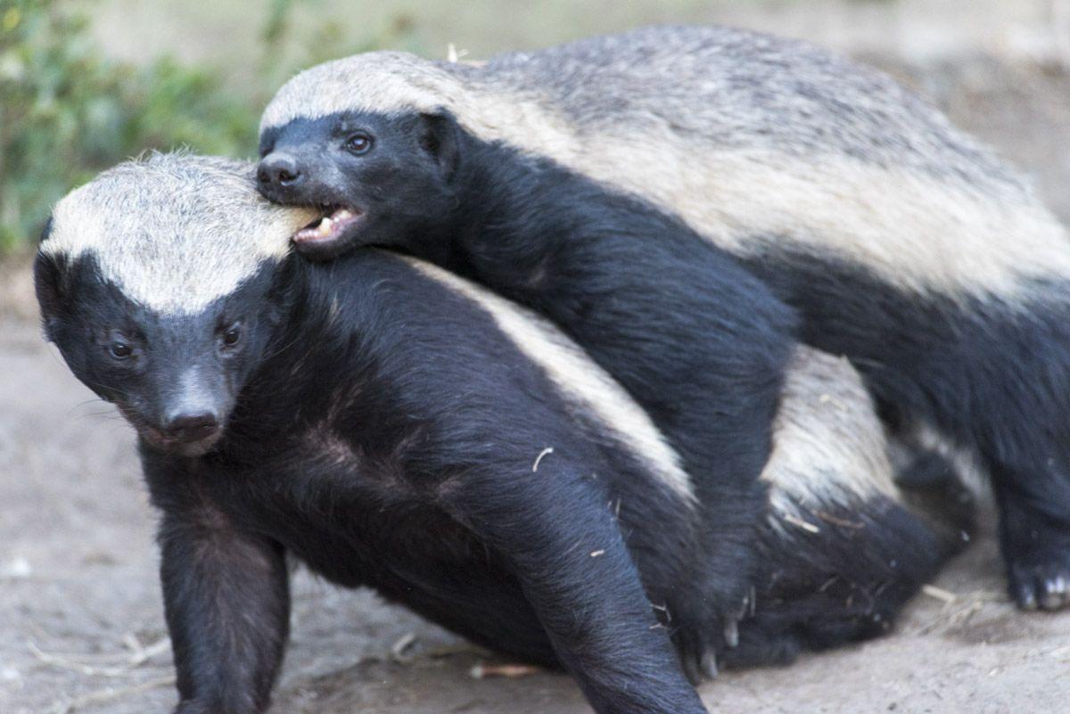 moholoholo honey badgers