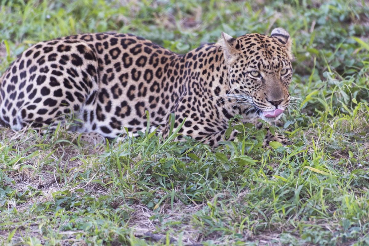moholoholo leopard 2