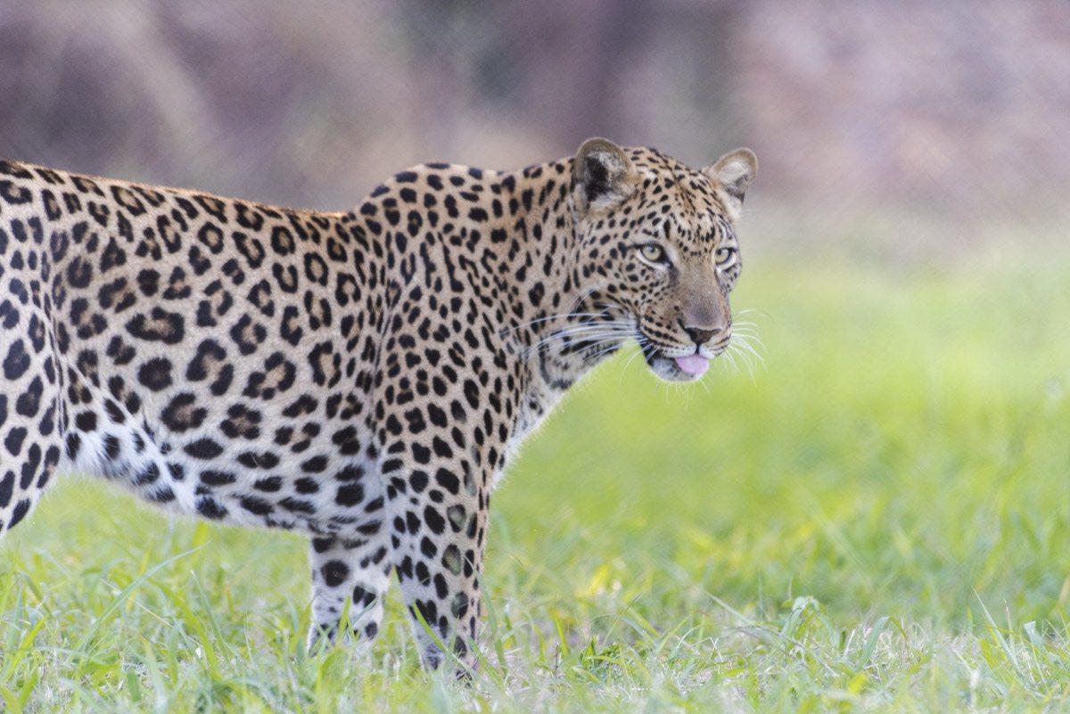 moholoholo leopard