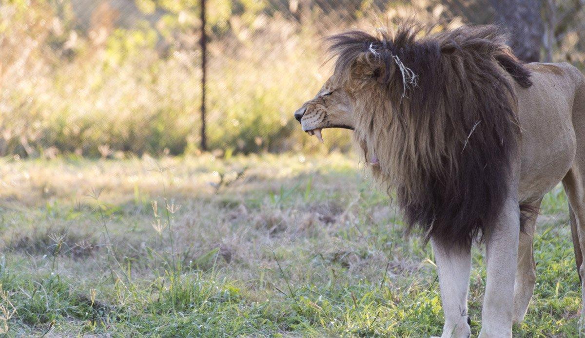 moholoholo lion