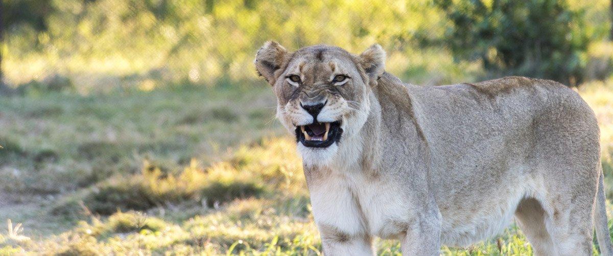 moholoholo lioness
