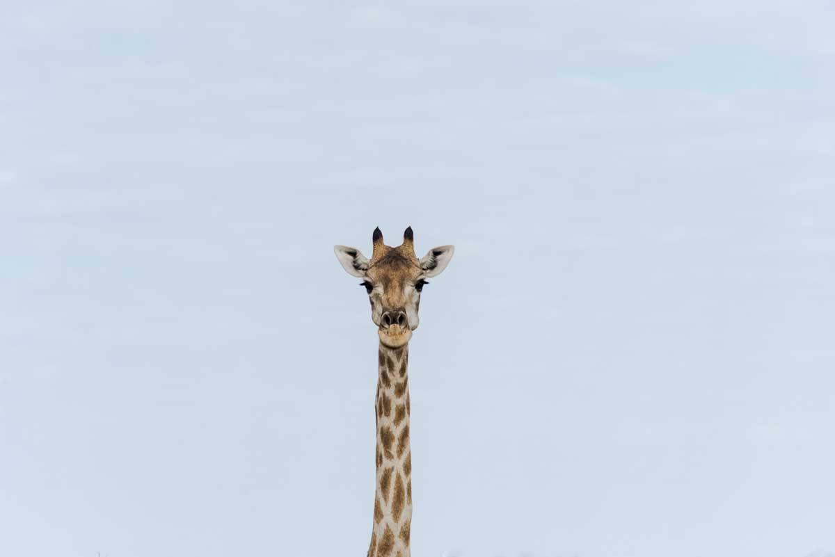 namibia giraffe portrait