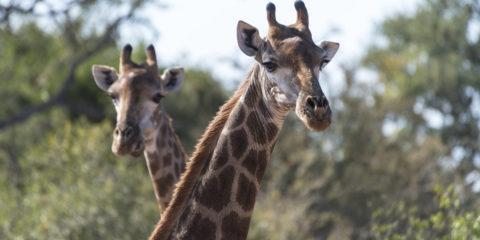 south african safari giraffes