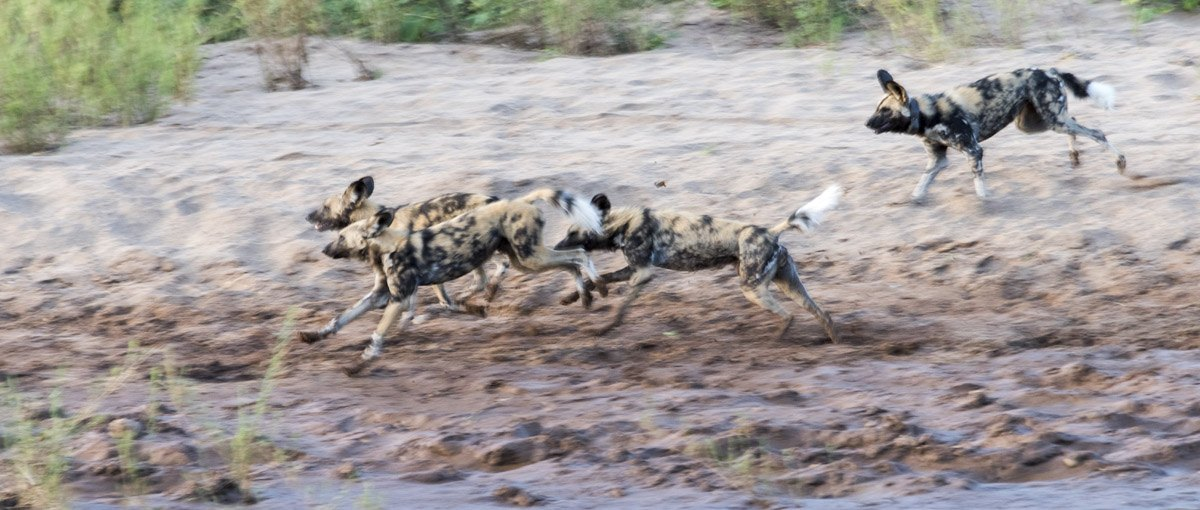 wild dogs running south africa