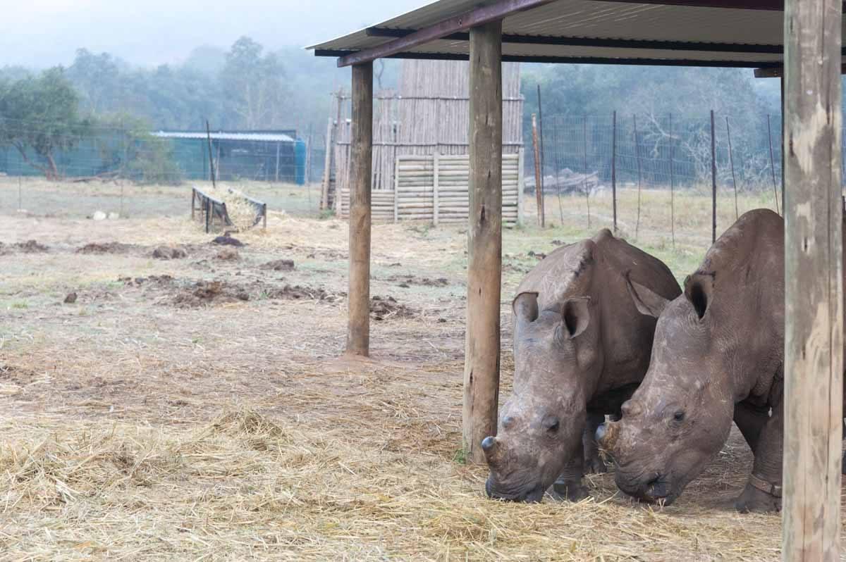 care for wild africa rhino boma