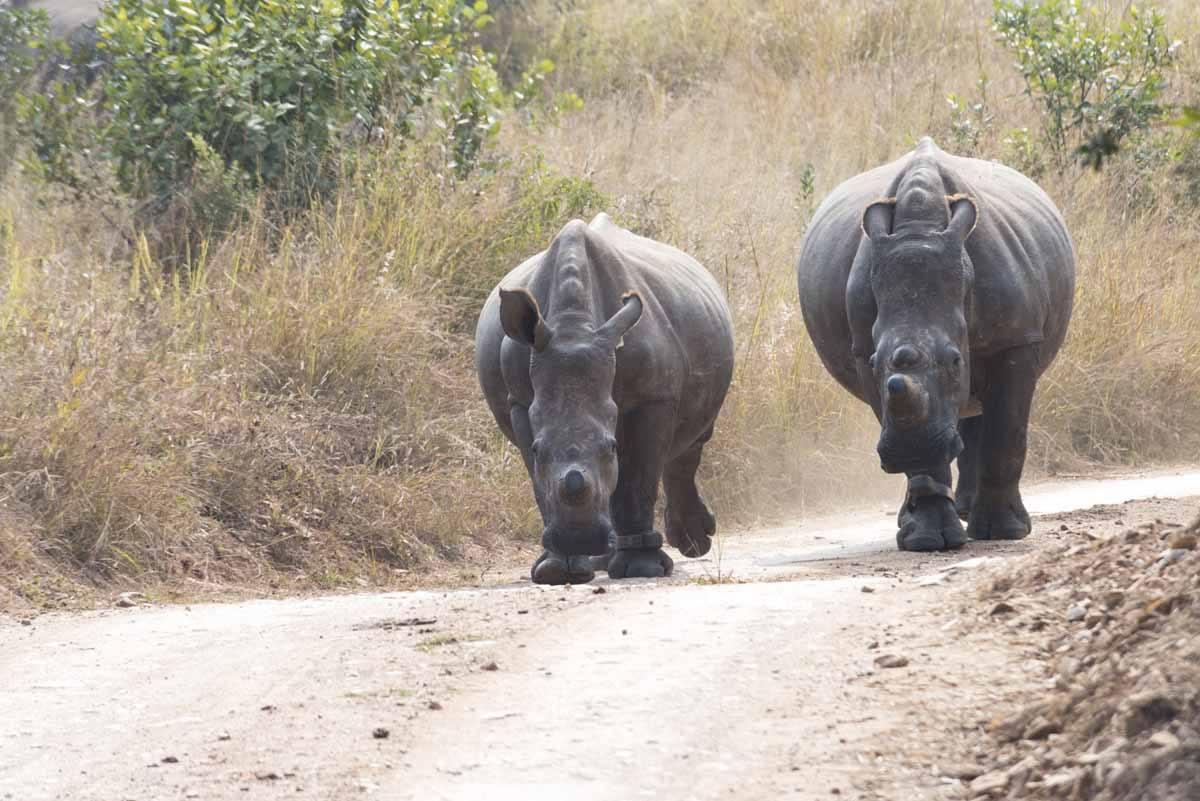 care for wild africa two rhinos