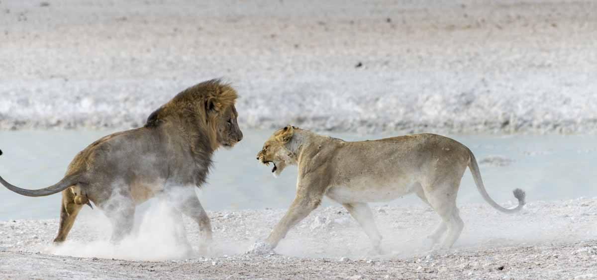 badass lioness etosha namibia