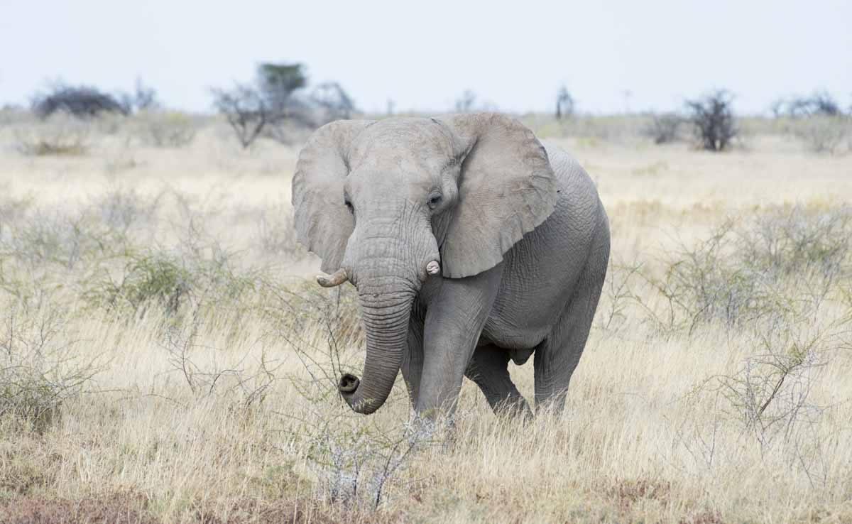 bull elephant etosha namibia
