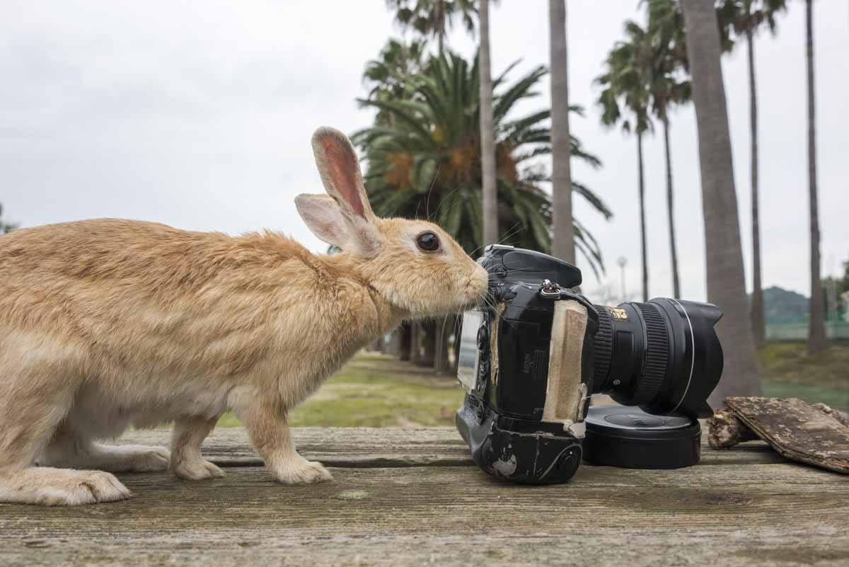 bunny island japan rabbit with camera