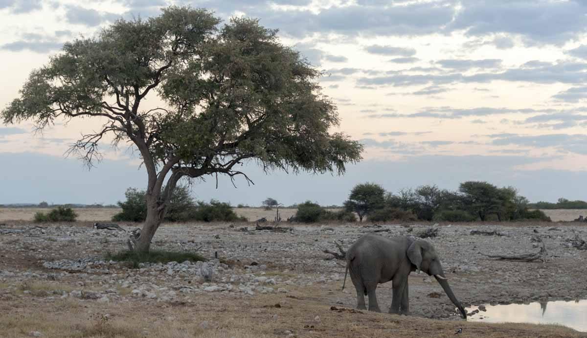 elephant drinking etosha