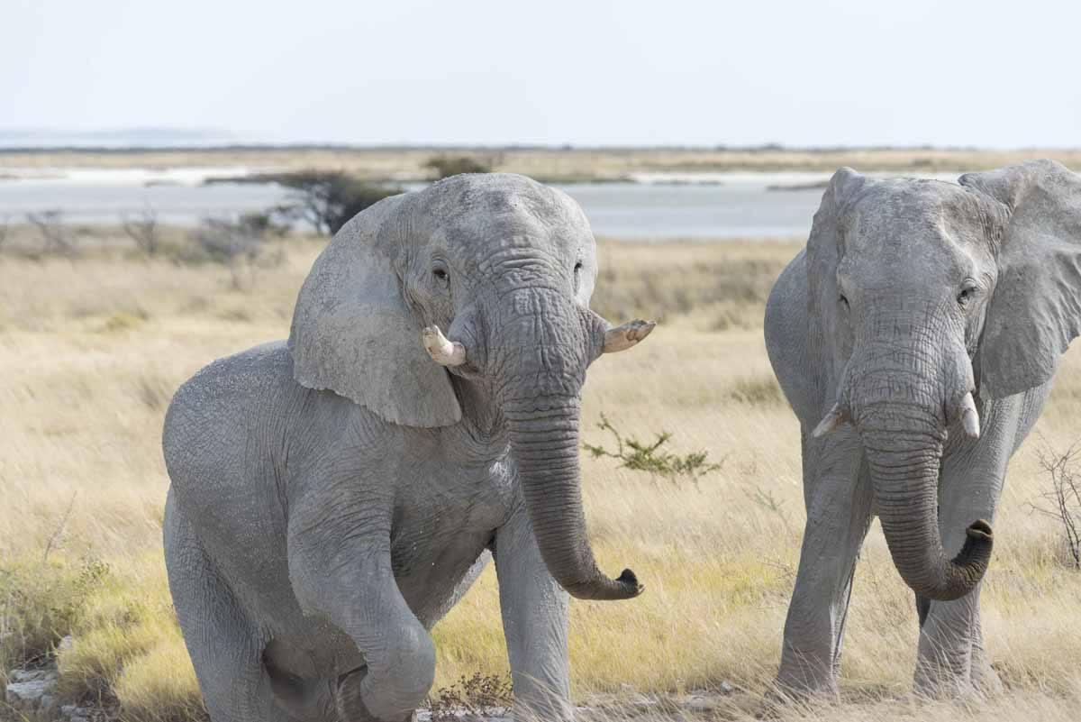 elephant leaving waterhole etosha
