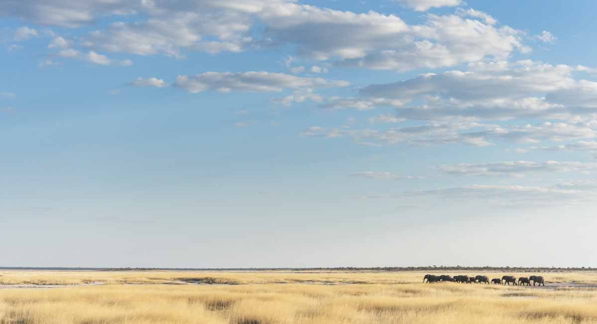 elephants in the savannah etosha namibia