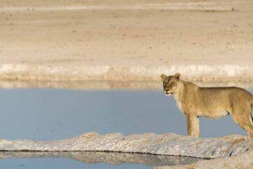 etosha national park lioness