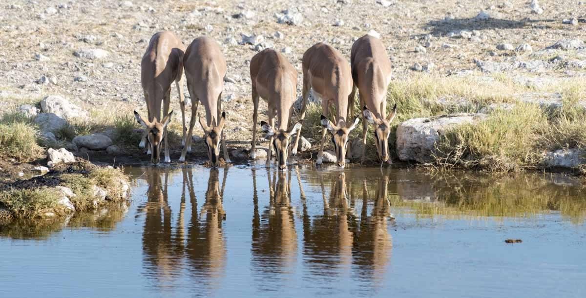 etosha waterhole impala