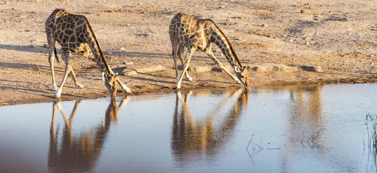 giraffes drinking etosha namibia