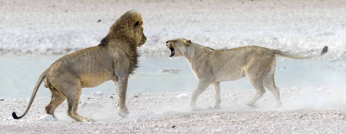 lion lioness encounter etosha