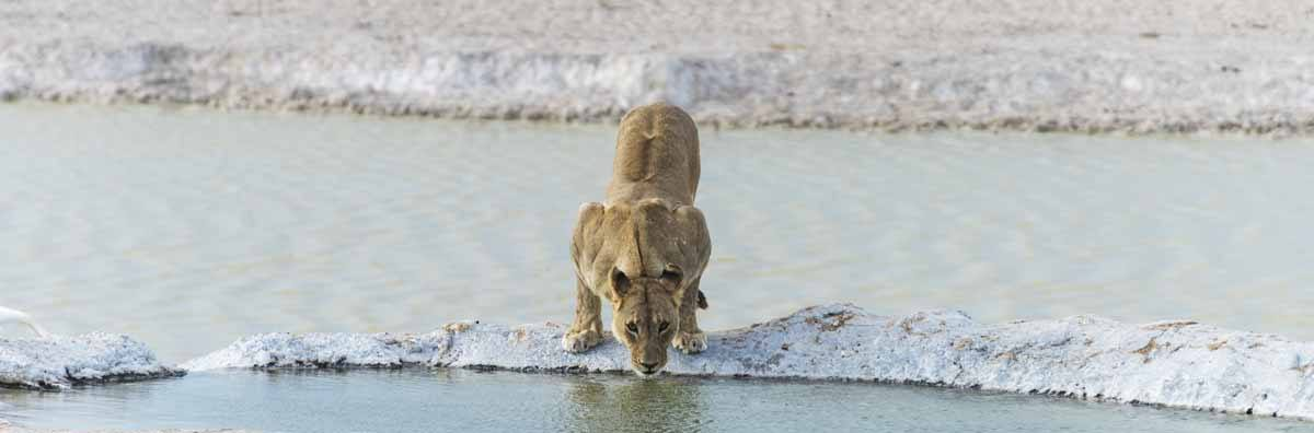lioness drinking etosha
