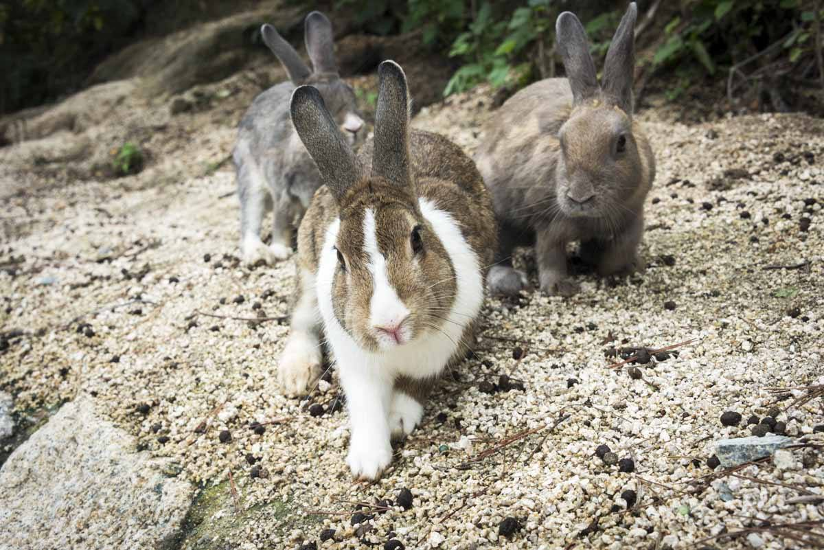 okunishima japan rabbit island three