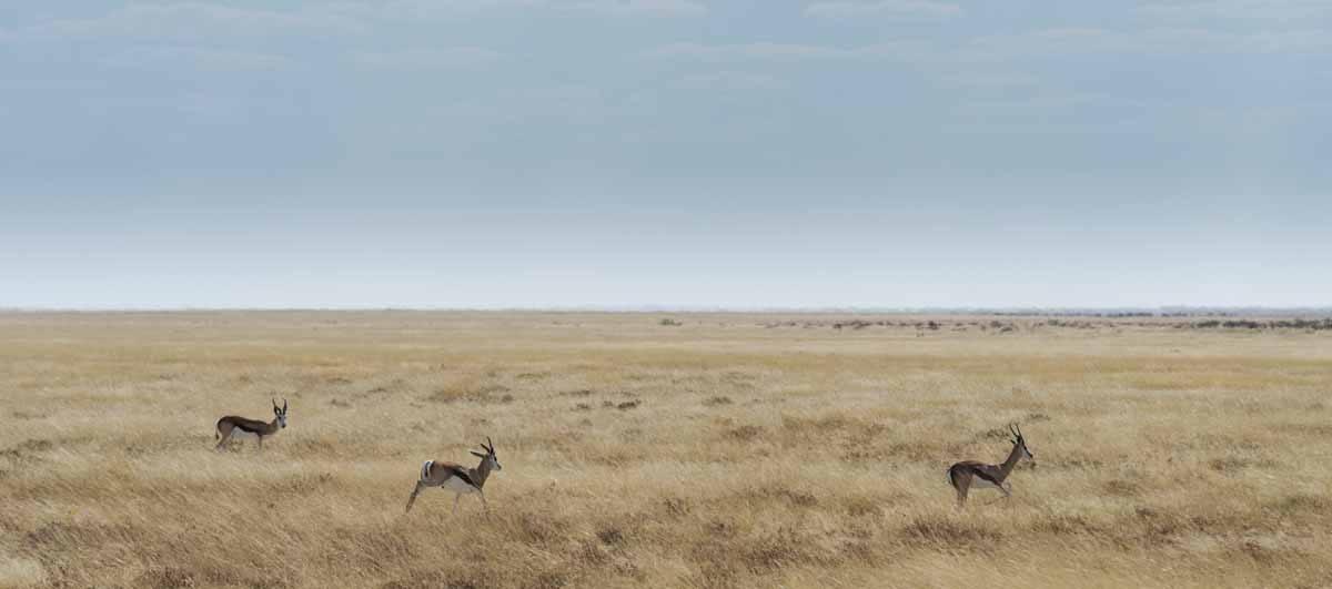 springbok running etosha namibia