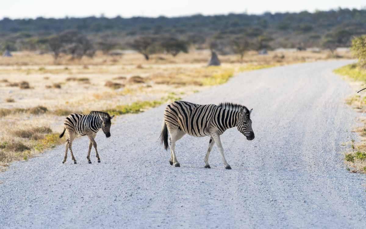 zebra crossing etosha namibia