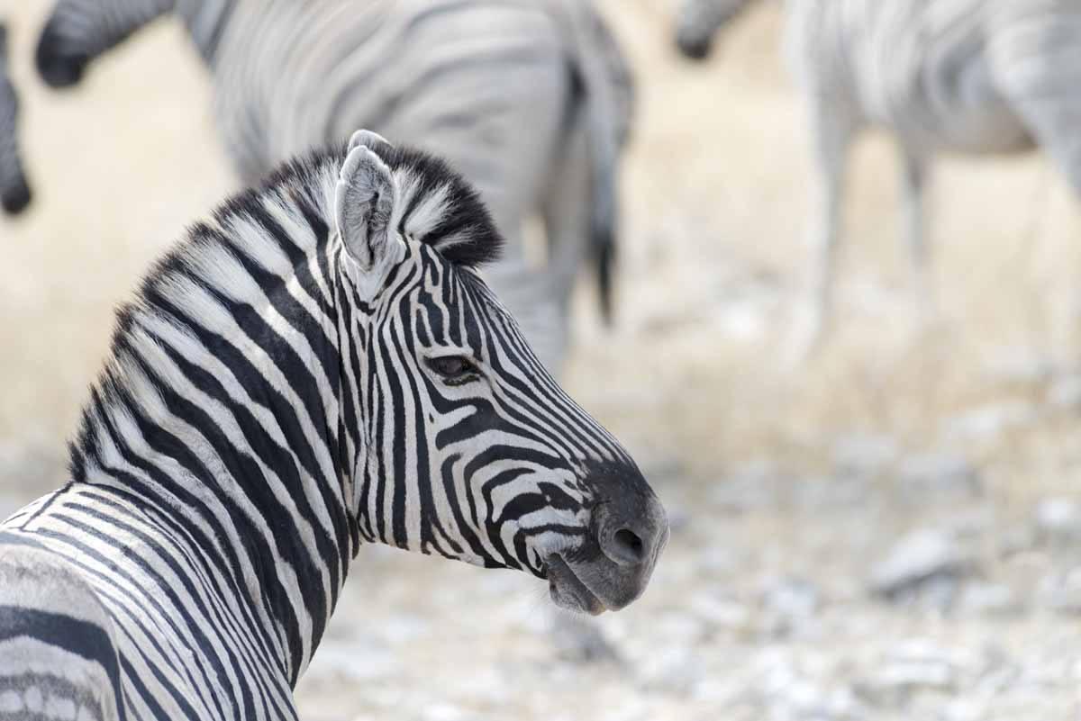 zebra portrait etosha