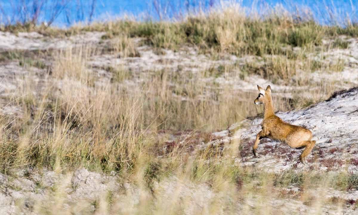 baby impala botswana