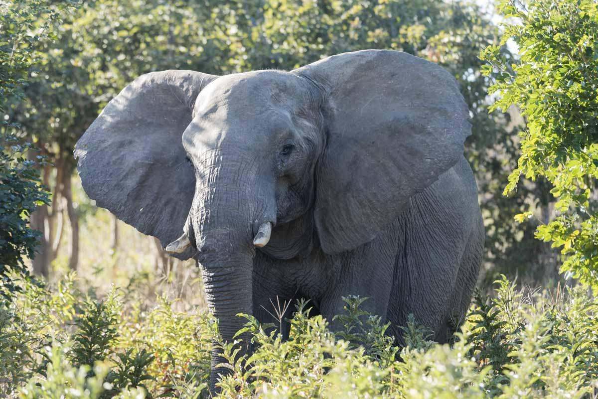 botswana itinerary elephant