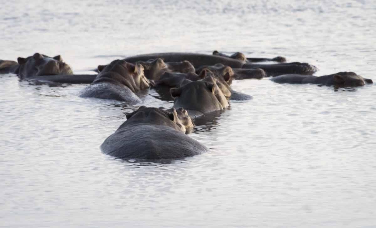 chobe hippos botswana