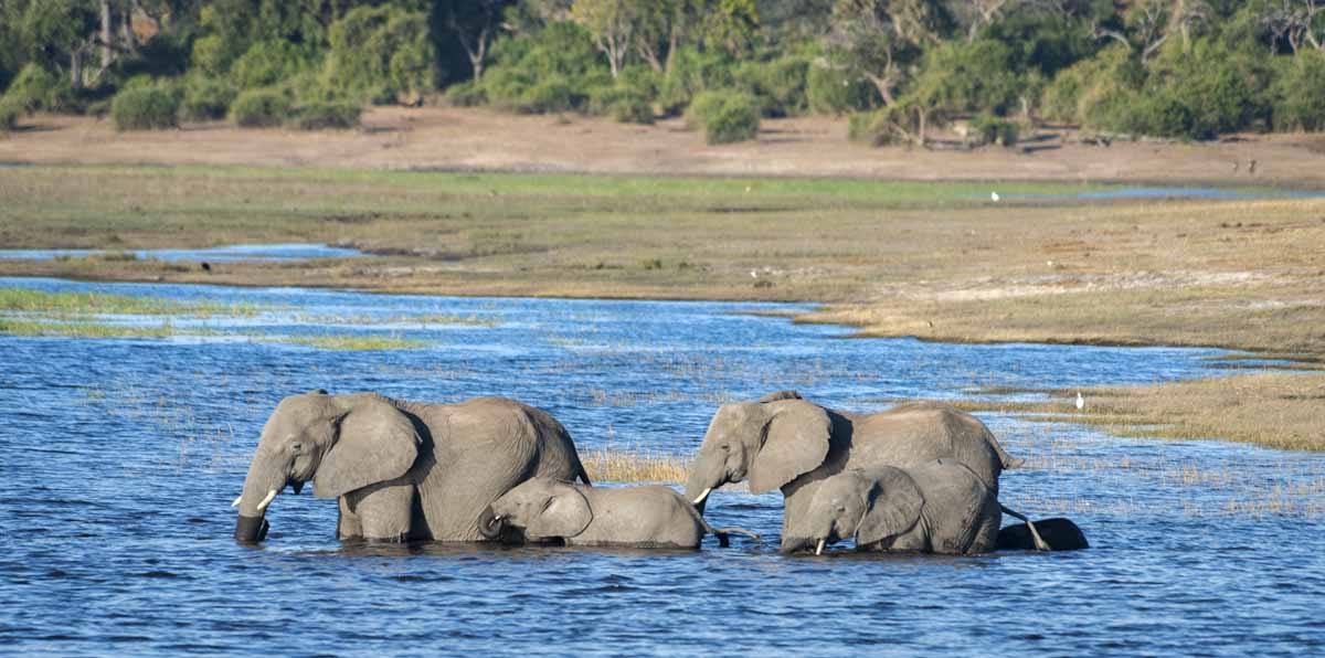 elephants swimming chobe