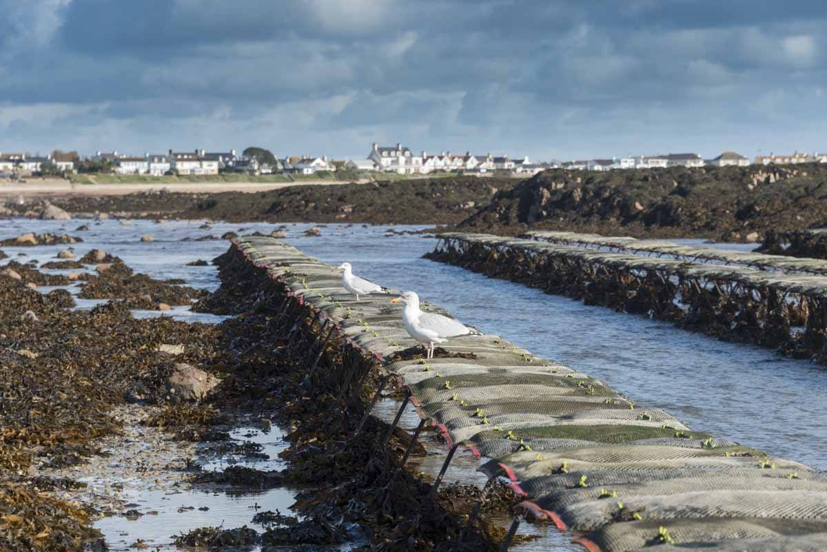 jersey oyster beds