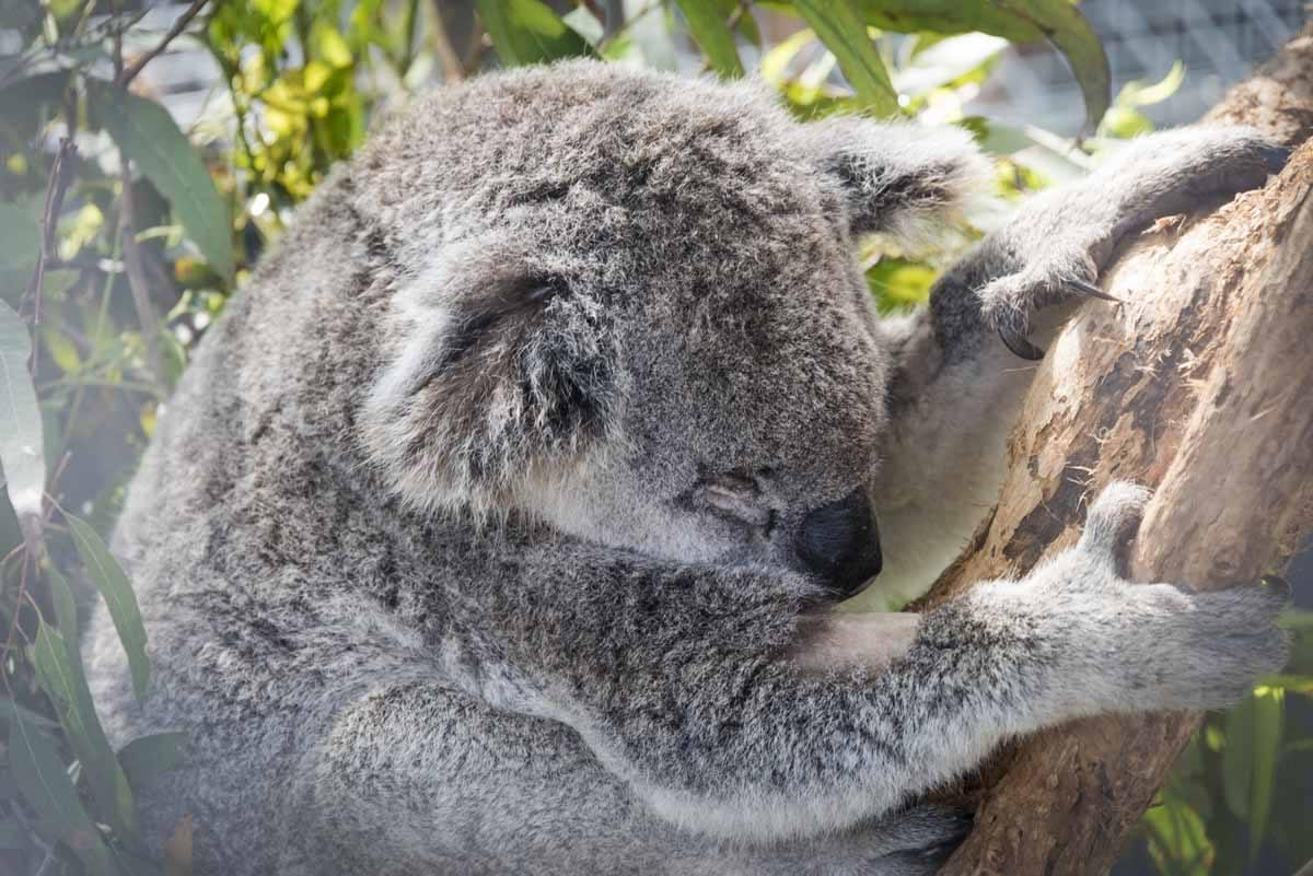 australia sleepy koala