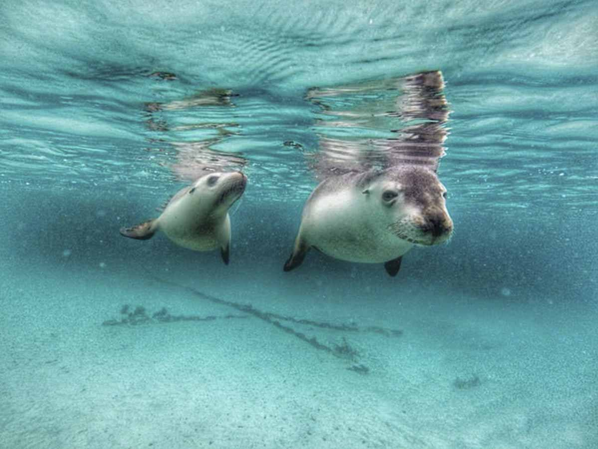 australia swimming with sea lions