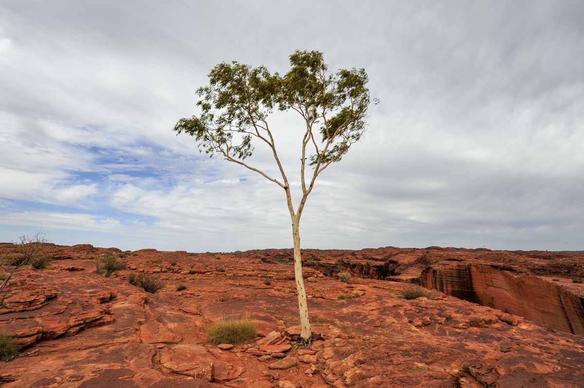 lone tree red centre australia