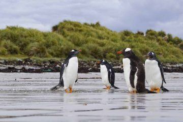 falkland islands wildlife penguins