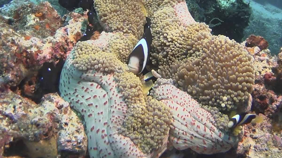 anemone clownfish indonesia alor