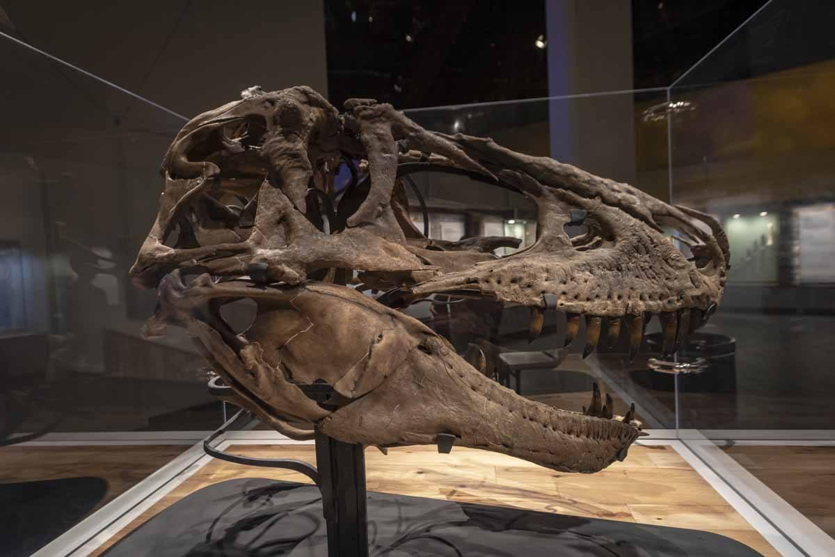 t rex skull royal tyrell museum