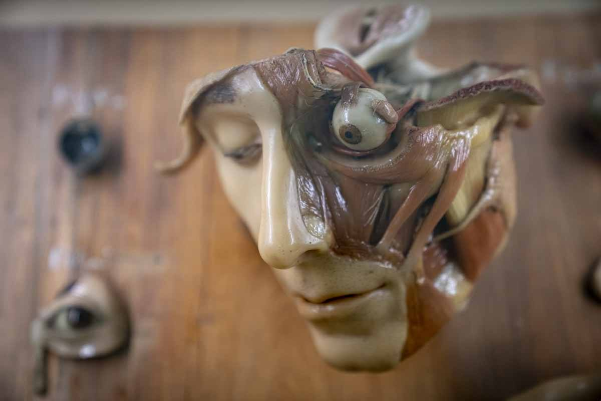 bologna anatomic wax casts