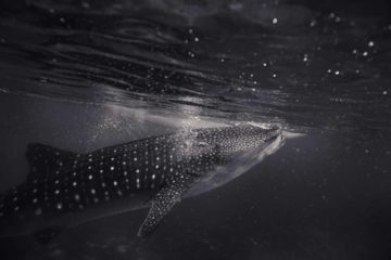 swimming whale shark holbox mexico