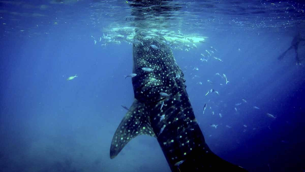 whale shark blue mexico