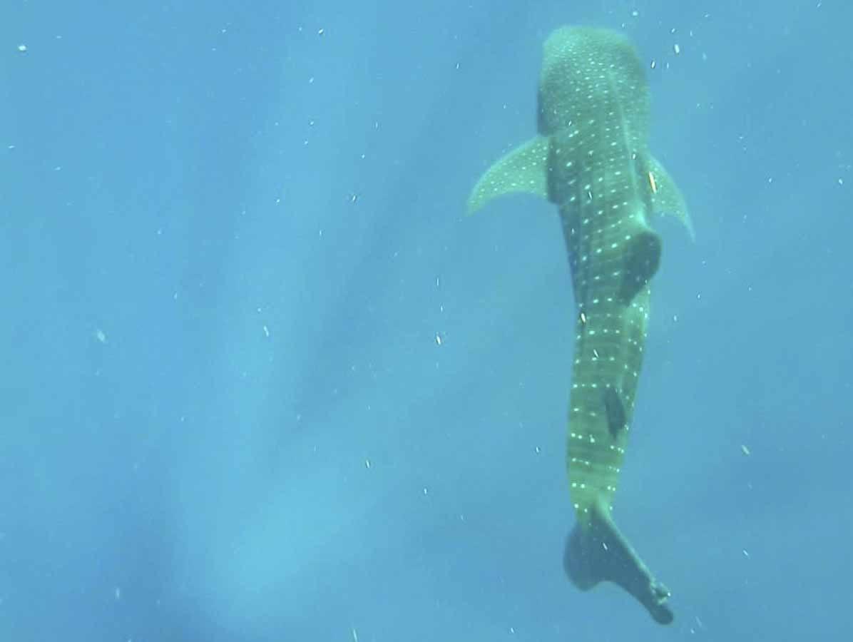 whale shark isla holbox swimming