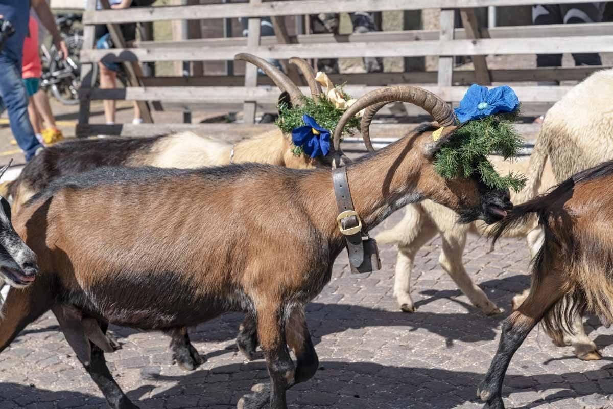 desmontegada goats