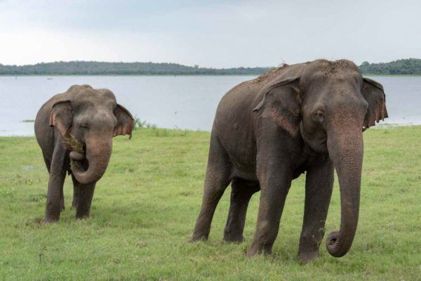 kaudulla elephants sri lanka