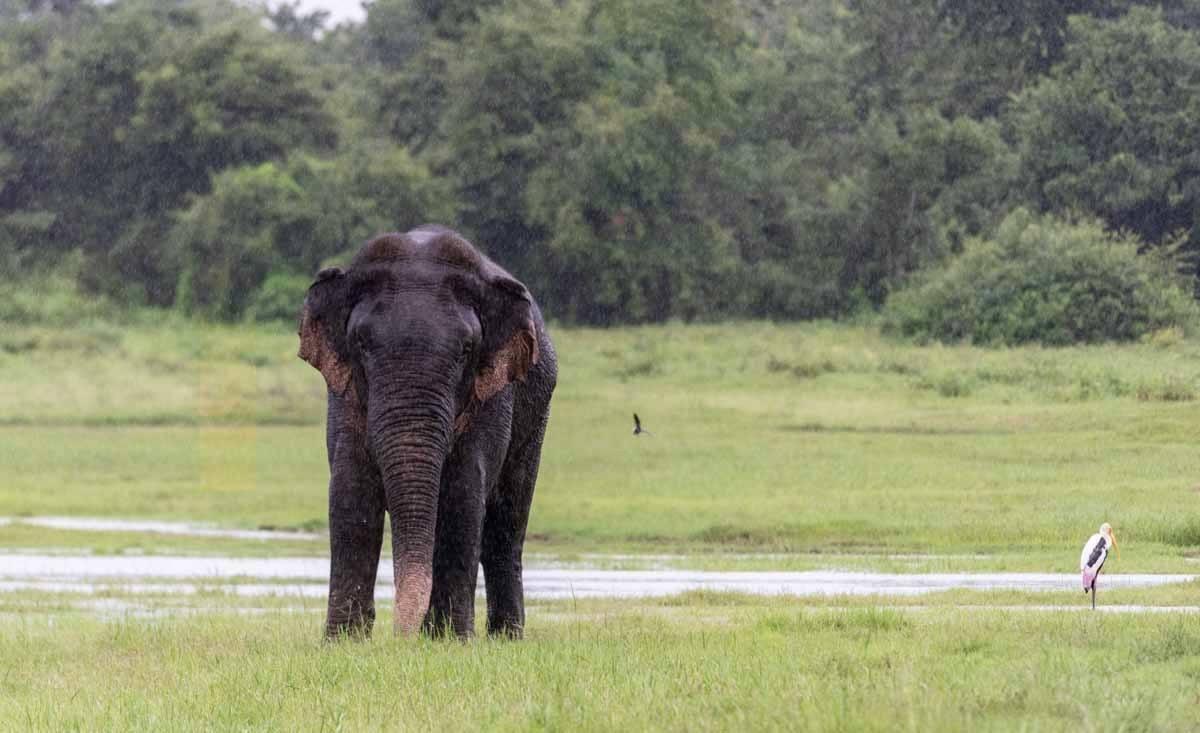 kaudulla rainy elephant