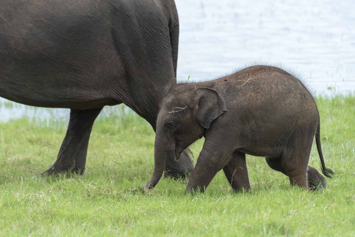 baby elephant sri lanka
