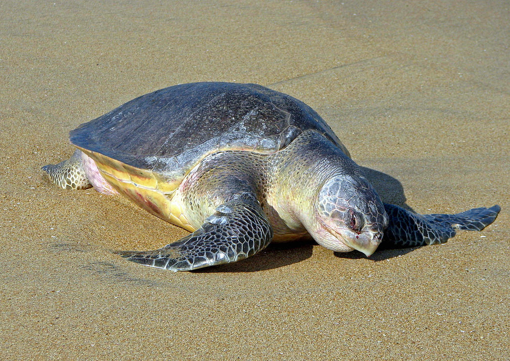 olive ridley turtle sri lanka