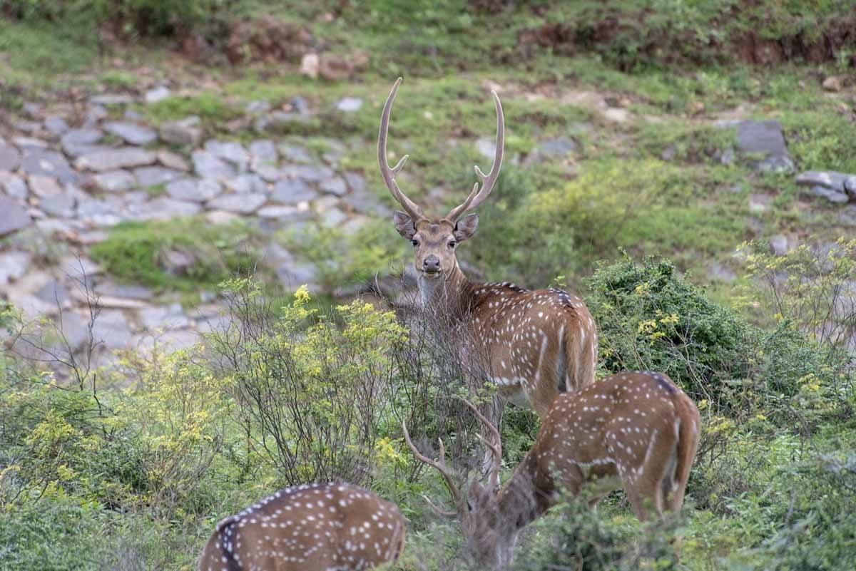 spotted deer sri lanka