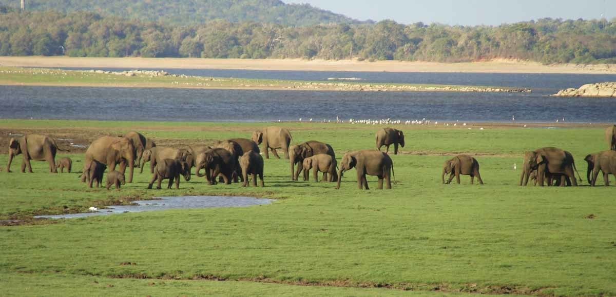 elephant gathering kaudulla national park