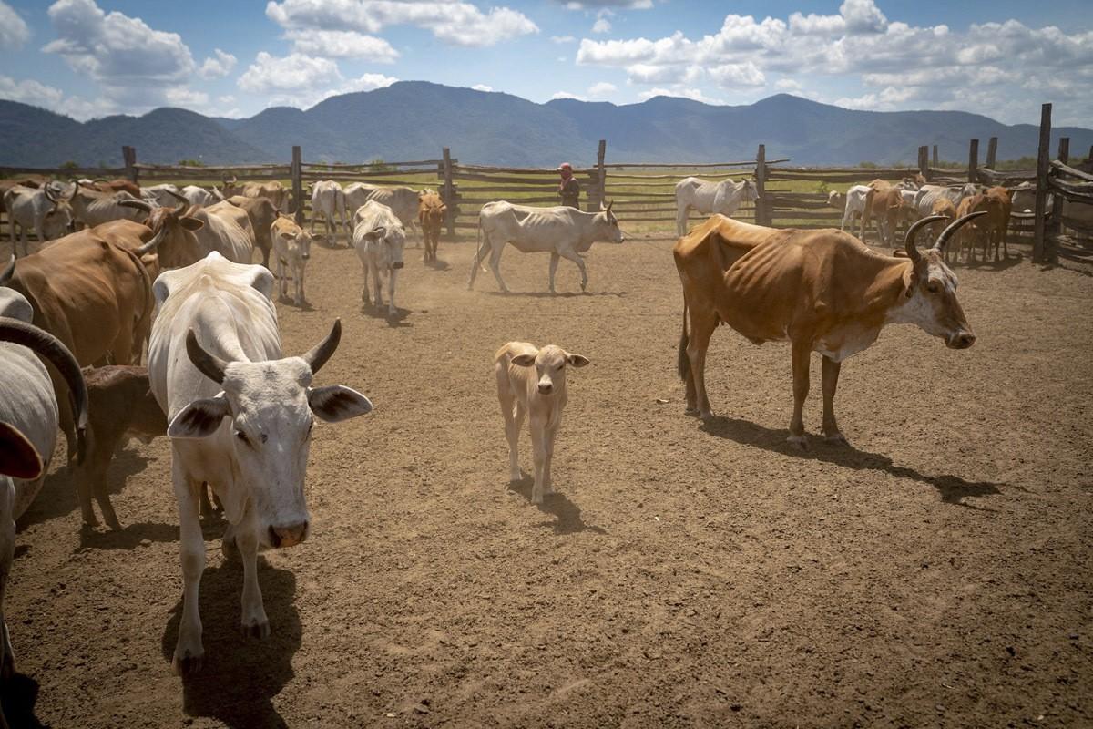guyana ranch saddle mountain baby cow