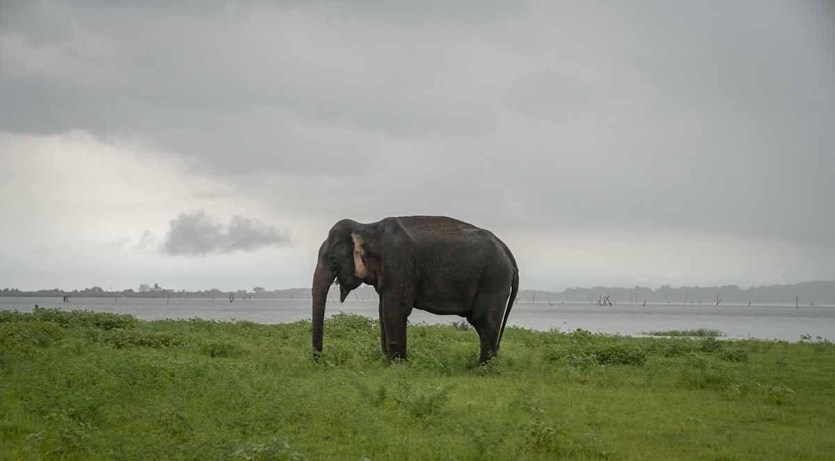 lone elephant kaudulla